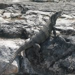 遺跡内に生息するイグアナ