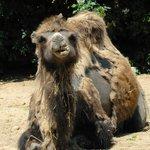 Cologne Zoo - Camel