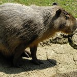 Cologne Zoo - capybara