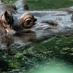 Cologne Zoo - hippo