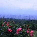 葡萄畑とバラ