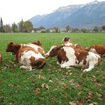 Some very happy Swiss cows.