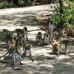Velvet monkeys dispute