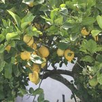 Üppige Zitronenbäume