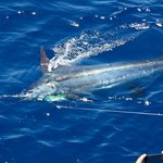 Blue Marlin 450 lbs released 25th June 2014