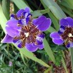 African iris?