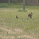 What a treasure seeing the fawn gets its meal from the doe (early morning, Darlings Island)
