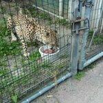 cheetah feeding