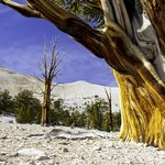 Bristlecone Pines--World's Oldest Trees
