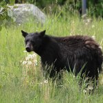 Bear on the walk from Whistler village to Chalet Luise