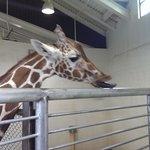 giraffe licking the fence.