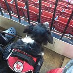 My husband's service dog at Busch. She likes loge seating better than field box!