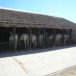 Les beaux chevaux camarguais