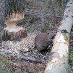 Beaver feeding along boardwalk