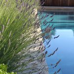 Lavender in bloom by the pool