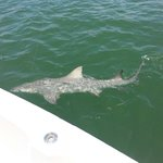 7 foot 150 pound lemon shark