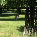 Deer in Bushy Park