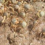 Soldier crabs en masse