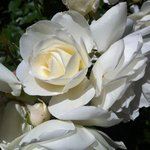 Beautiful white roses on property