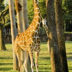 Giraffe and Baby hide and seek