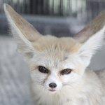 Fennel Fox....
