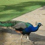Peacocks roam free