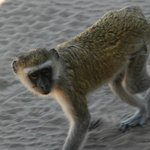 Watch out for monkeys who know how good the lunch is that is served on the game drive!