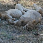 Lions after a big meal (15 feet from our vehicle)