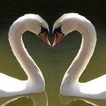 Gaia Swans