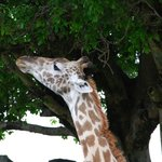 Giraffe on the grounds
