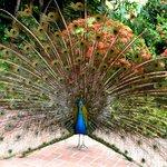 Lots of pretty peacocks