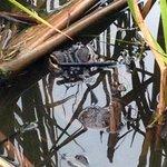Wild aligator
