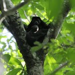 Howler monkey mama with baby