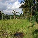 Surrounding rice fields