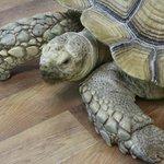 African tortoise.