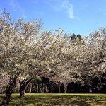 桜の終わりの頃
