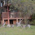 kangaroos waiting ......