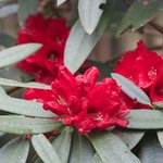 Rhododendron flowers in March