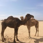 Camels by the beach