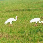 The last pair of Siberian Cranes spotted in India.. circa 2006