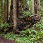 Redwood Burls with fern