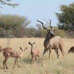 kudu at water hole just next to lodge
