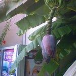 Bananenbaum an der Pool-Anlage