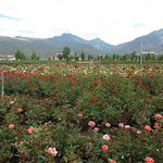 China Rose Field