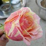 Fiesta Rose