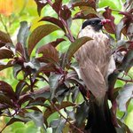Sooty-headed Bulbul - eating plums in the garden