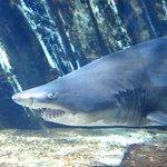 Becken der Sandtiger Haie