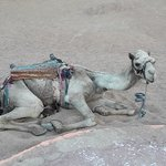 Camel resting in the desert