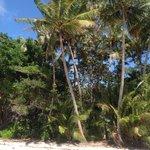 La cueillette des noix de coco