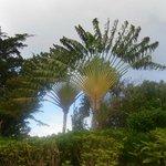 Traveler palms